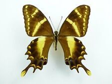 Papilio machaonides Männchen