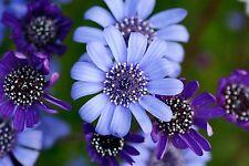 Blaue Kap-Aster • Felicia heterophylla • 50 Samen/seeds • True Blue Daisy