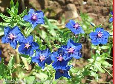 Anagallis monelli * 100 semillas * azul simplemente a arrastrar * genial como semáforo-planta