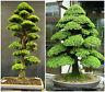 50 graines de Cryptomeria Japonica , cèdre du Japon,  graines bonsaï F