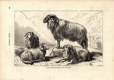Cassell'S Mammals - Sheep From The Pyrenees- 150 Years Old Wood Engraving