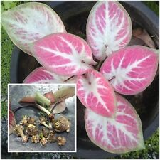 Caladium 1 Tuber, Queen of the Leafy Plants, ''Khongkhawn'' Tropical From Thai