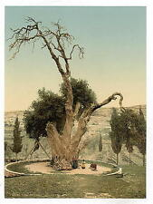 AbrahamS Tree Mamreh Hebron A4 Photo Print