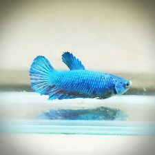 "Live Betta Fish - Female Halfmoon -""Fancy Solid Blue"" Betta High Quality (QAP97)"