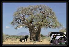 ❀⊱ Adansonia Digitata ✿ African Baobab ✿ 10 Arbre Plante Bonsai CAUDEX graines ✿ 2