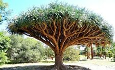 Dragon's Blood Tree, Dracaena draco rare Canary Island palm bonsai seed 50 SEEDS