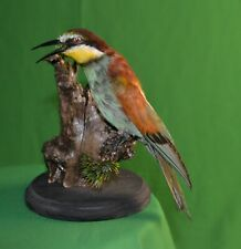 Taxidermy European bee-eater Stuffed Colored Bird