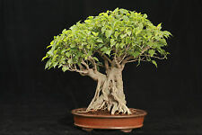 Bonsai Sacred Fig/Bo Tree (Ficus religiosa)   50 Seeds