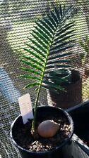 Sub-tropical Partial Shade Evergreen Plants, Seeds & Bulbs