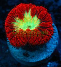 New listing Cornbred's Yellow Fever Blasto - Frag - Live Coral