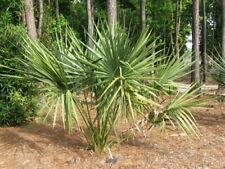 Sabal X brazoriensis (=S. X texensis) Brazoria Palmetto 25 seeds Hardy Palm!
