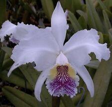 Cattleya lueddemanniana coerulea ('Rafael'  X 'Wanaka') Fragrant Orchid Species