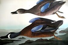 No 63 Audubon Print B. Havell Blue Winged Teal Plate CCCXIII Birds of America