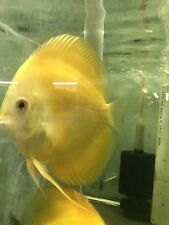 New listing Yellow Crystal Discus Pair Fish