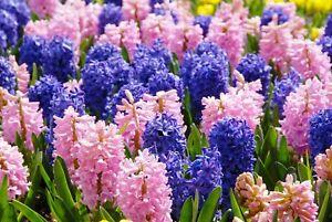 Hyacinth Fragrance Oil SKU #120