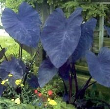 BLACK MAGIC Colocasia esculenta heart-shaped purple black leaved plant 180mm pot