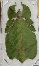 PHYLLIUM BIOCULATUM PULCHRIFOLIUM GREEN FEMALE REAL INSECT INDONESIA LEAF MIMIC