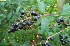 40 Piante Ligustro Pianta per Siepe Ligustrum Ligustrino Vaso 7x7 cm - H 20 cm