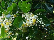 4 Graines Alexandrian laurel (Calophyllum inophyllum) tree seeds