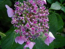 New listing Live-Pink Flat-Cap Hydrangia-Add Ferrous Sulfate To Soil & blooms Turn Blue