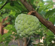 Cherimoyapflanze(Zimtapfel) Aus Peru 25-30 cm. Pflanze Aus Eigener Zucht.