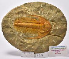 TRILOBITE FOSSIL, Acadoparadoxides specimen, 540 myo, Morocco (F356)
