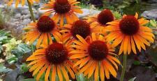 Echinacea Purpurea Seeds - FLAME THROWER - Hybrid Perennial Coneflower- 15 Seeds