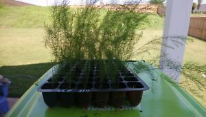 UC-72 Drought Tollrnt Asparagus 6Pk Live Plant Plugs Free Ship (NOT JUST CROWNS)