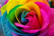40 x RAINBOW ROSE SEEDS READY FOR PLANTING / BORDER / COTTAGE GARDEN PERENNIAL