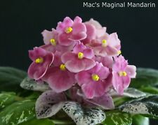 Mac's Maginal Mandarin Blatt/ leaf African Violet Usambaraveilchen