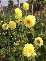 DAHLIA-MIXED-310 FLOWER SEEDS