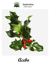 Holly - Ilex aquifolium - 50 Seeds