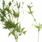 Cardiospermum halicacabum L pressed flowers dried plants 12pcs 10228250