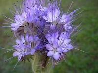 Büschelschön  Bienenweide  10.000  Samen - Phacelia Tanacetifolia  Bienenfreund
