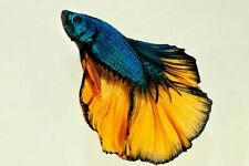 Mustard Gas Halfmoon Betta Male Live Tropical Freshwater Aquarium Fish Bettas