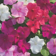 Impatiens Dwarf Baby Mix Seeds Indoor-Outdoor No Frost Shade Plant