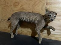 Beautiful North American bobcat mount.