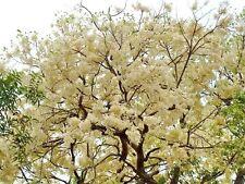 Hot 100+ seed White meranti Shorea roxburghii rare fragrant flower hard wood2017