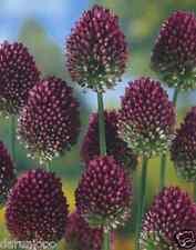 30 ALLIUM DRUMSTICK GARDENING BULB BEAUTIFUL SPRING SUMMER FLOWER PERENNIAL NEW
