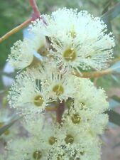 Eucalyptus cladocalyx nana (Gum Tree) in 50mm forestry tube native plant tree