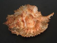 Hard2Get Beauty...(Murex) PTERYNOTUS MIYOKOAE w/o~65.2mm!!~Philippine SEASHELL