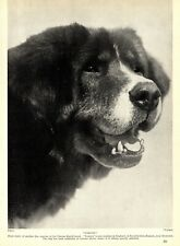 1930s Antique Tibetan Mastiff Print Tomtru Brambledown Kennels Mastiff 3516-H