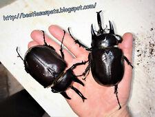 Insect grub feeder food 1x L3 Megasoma actaeon elephant beetle larva