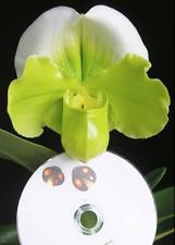 QOB Orchid Plant Green complex Paphiopedilum  Yi Ying Golden Slipper POT90mm 3YO