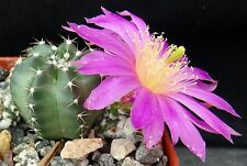 Echinocereus pulchellus var. weinbergii Globular cactus w/ pink flowers