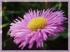 50+ ERIGERON  PINK JEWEL PERENNIAL FLOWER SEEDS/DROUGHT TOLERANT FLEA REPELLANT