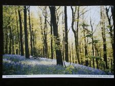 POSTCARD B38-7 DERBYSHIRE BLUEBELLS AT LINACRE WOOD CHESTERFIELD