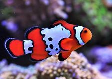 One (X1) Live Black Ice Clown Fish Med - Hand Picked - Free Shipping
