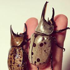 Dynastes tityus Beetle Baby L.3 Pair Raising Set-God'S Hobby