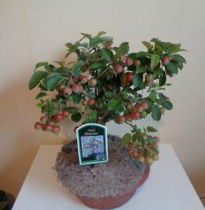 # Malus Bonsai 1 Stück Zier-Apfel Gorgious in Plastikschale